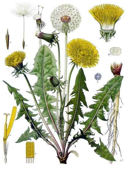 Gyermekláncfű (Taraxacum officinale)