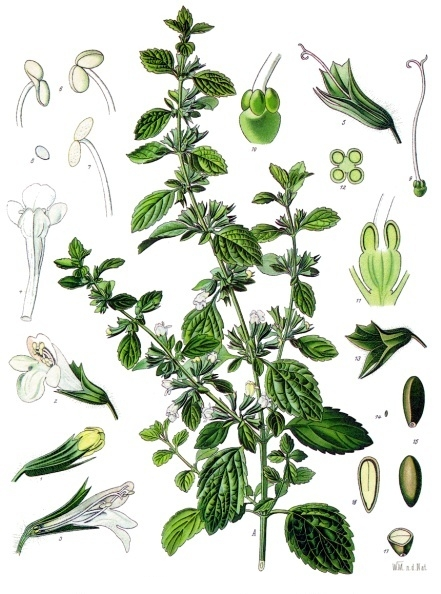 Citromfű - Melissa officinalis